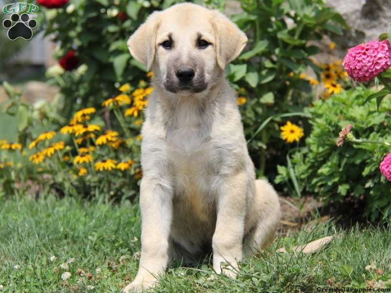 Todd Anatolian Shepherd Mix Puppy For Sale From Lancaster Pa Shepherd Mix Puppies Greenfield Puppies Anatolian Shepherd Dog