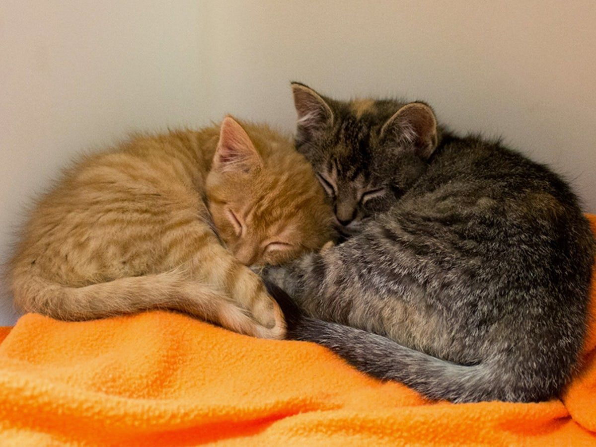 Kitten Won T Stop Meowing For His Sister So Owner Returns To The Shelter For Her Kitten Rescue Kittens Cats