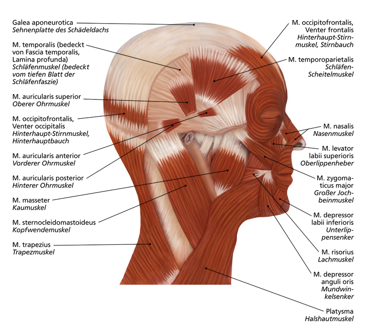 Kopfmuskeln | Anatomie | Pinterest