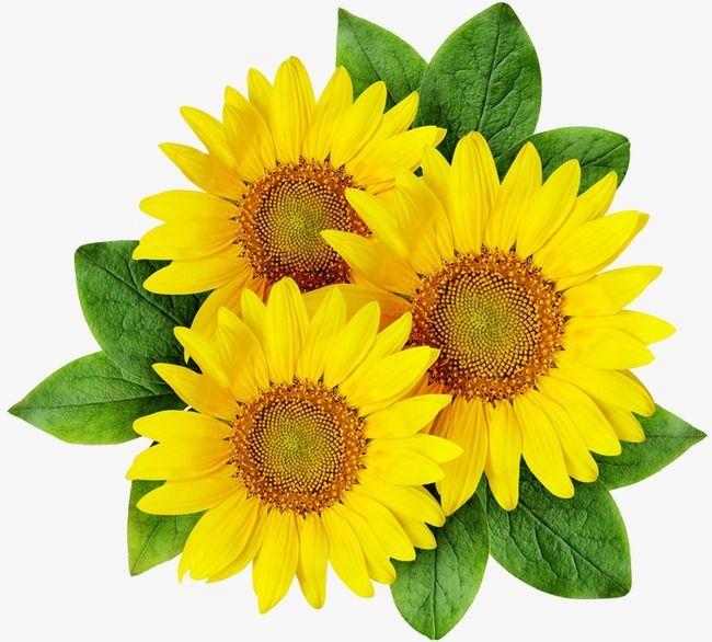 sunflower clipart yellow