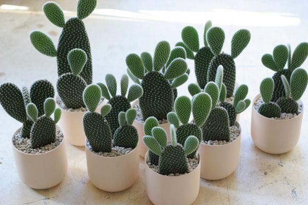 Hasil gambar untuk bunny cactus