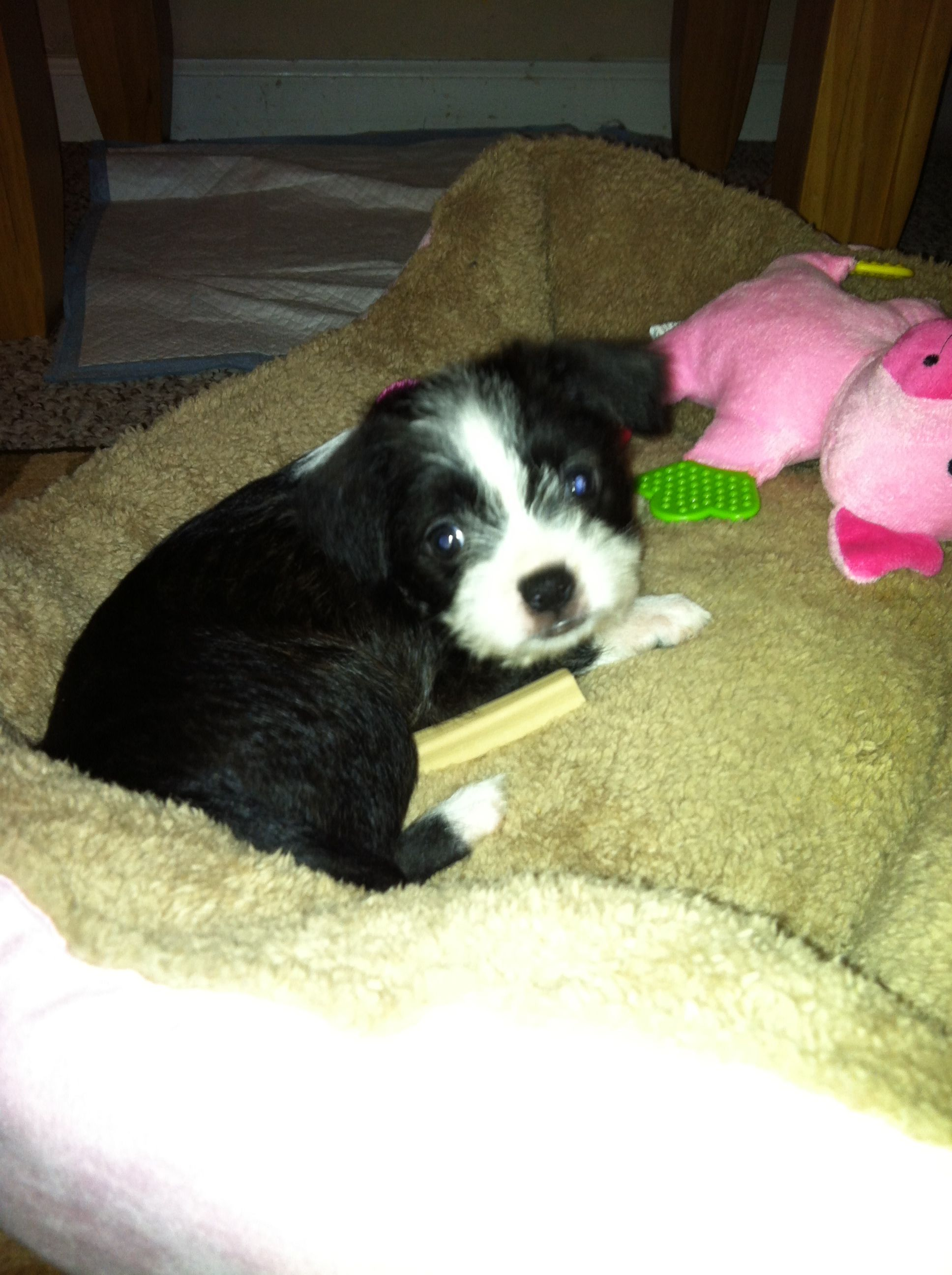 Boston Terrier Maltese Mix Look It Is A Baby Bing Is It From Westminster Boston Terrier Terrier Terrier Mix