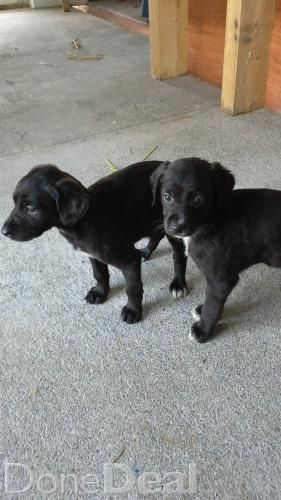 Pups For Sale For Sale In Kerry 50 Donedeal Ie Dogs For Sale Puppies For Sale Pup