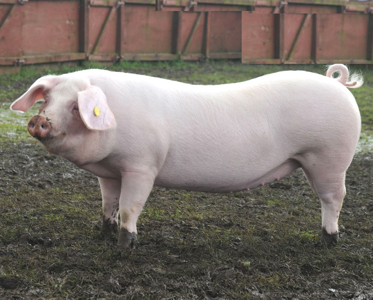 pig farming business plan for piggery pdf sample template