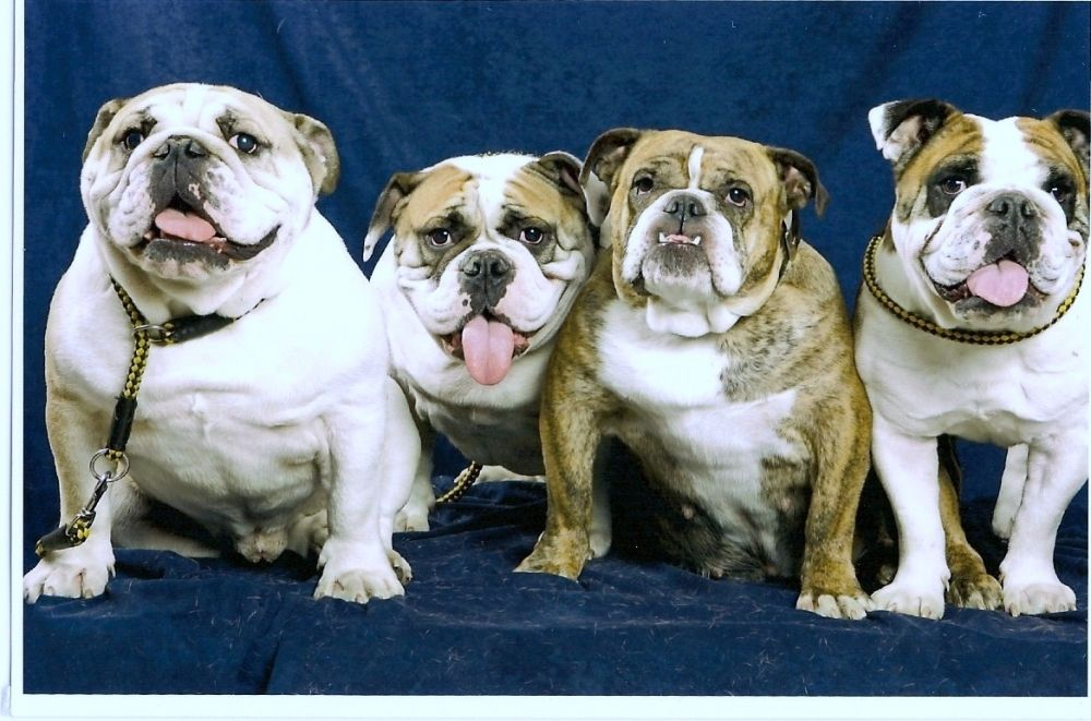 Boris Zenga Zippo Th - My English bulldogs | VSPETS - Internet Pet Competition, Pet Photo Contest | Enter your pet at www.VSPETS.com