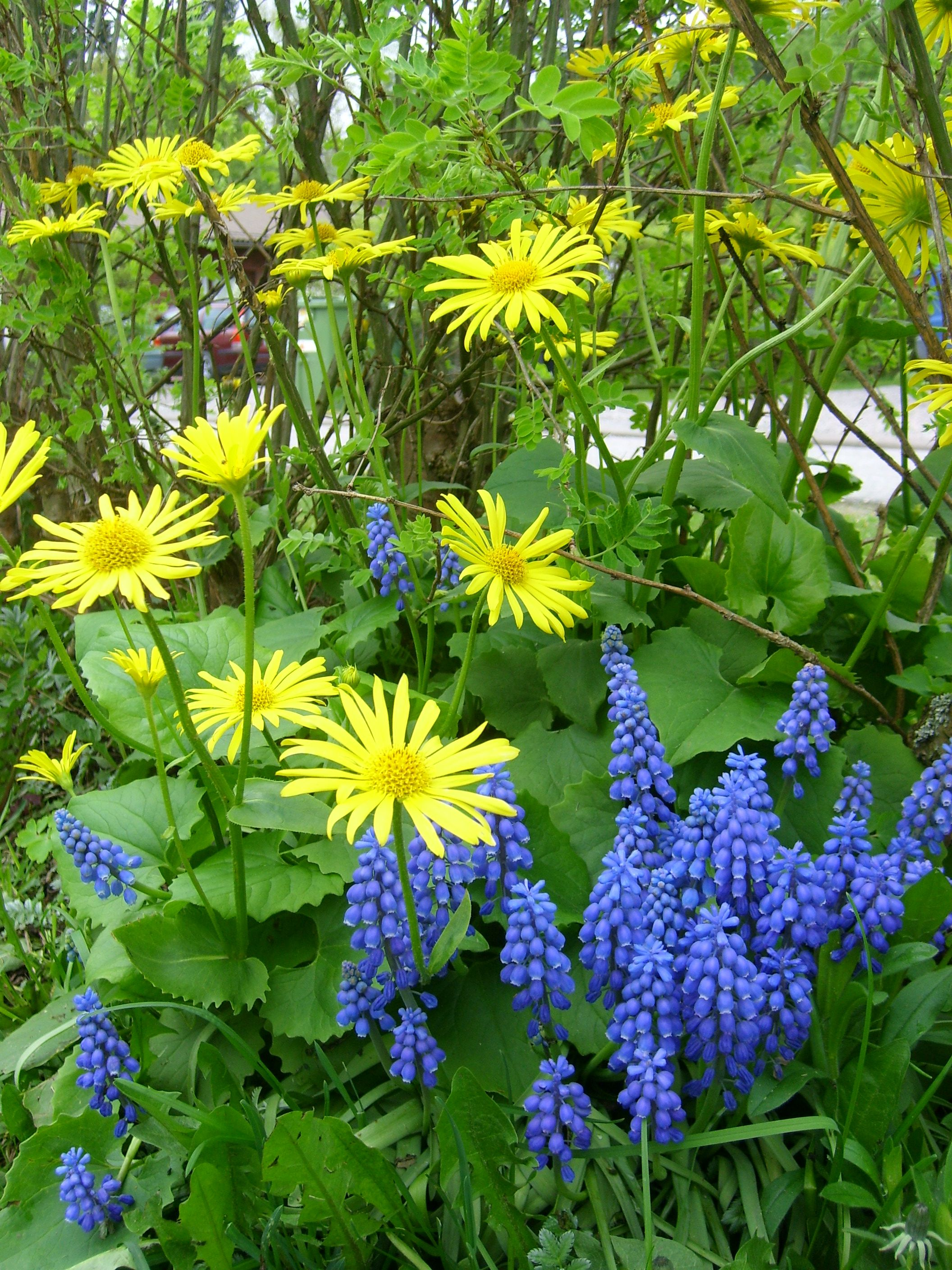 Doronicum Orientale Together With Muscari They Look Nice Together