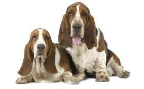 wallpapers basset hound - Buscar con Google