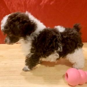 Cookie Poodle Puppy Poodle puppy, Poodle