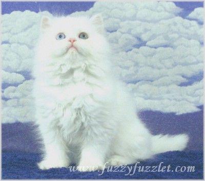 Virginia Doll Face Persian Ct Doll Face Persian Kitten For Sale Persian Kittens For Sale Persian Kittens Kitten For Sale