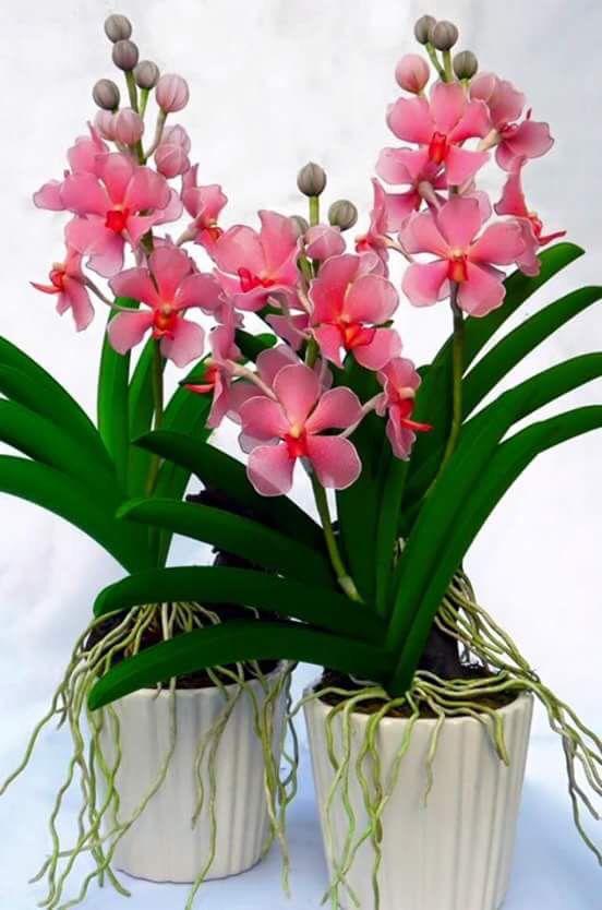 Orquideas Vyrashivanie Cvetov Cvetki Orhidei Krasivye Cvety