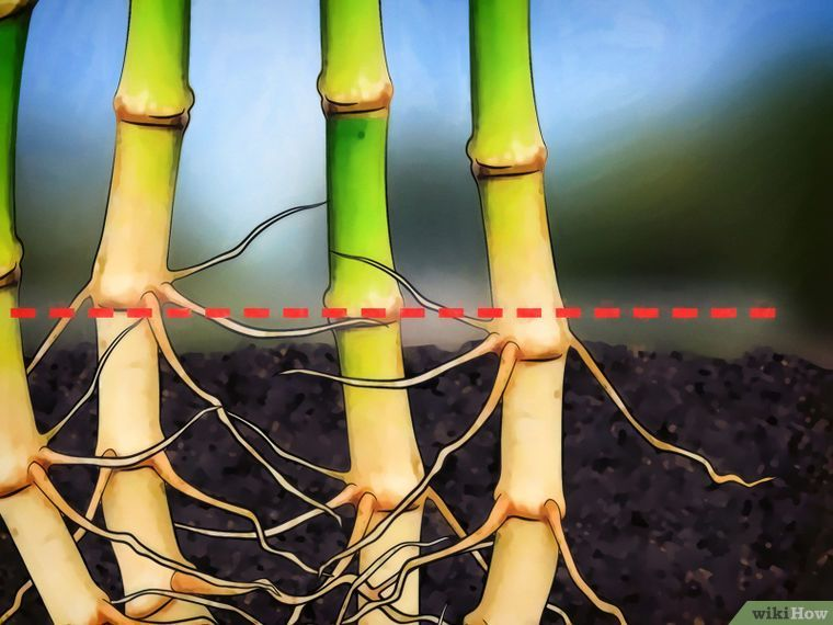 Kill bamboo with images bamboo garden bamboo plants
