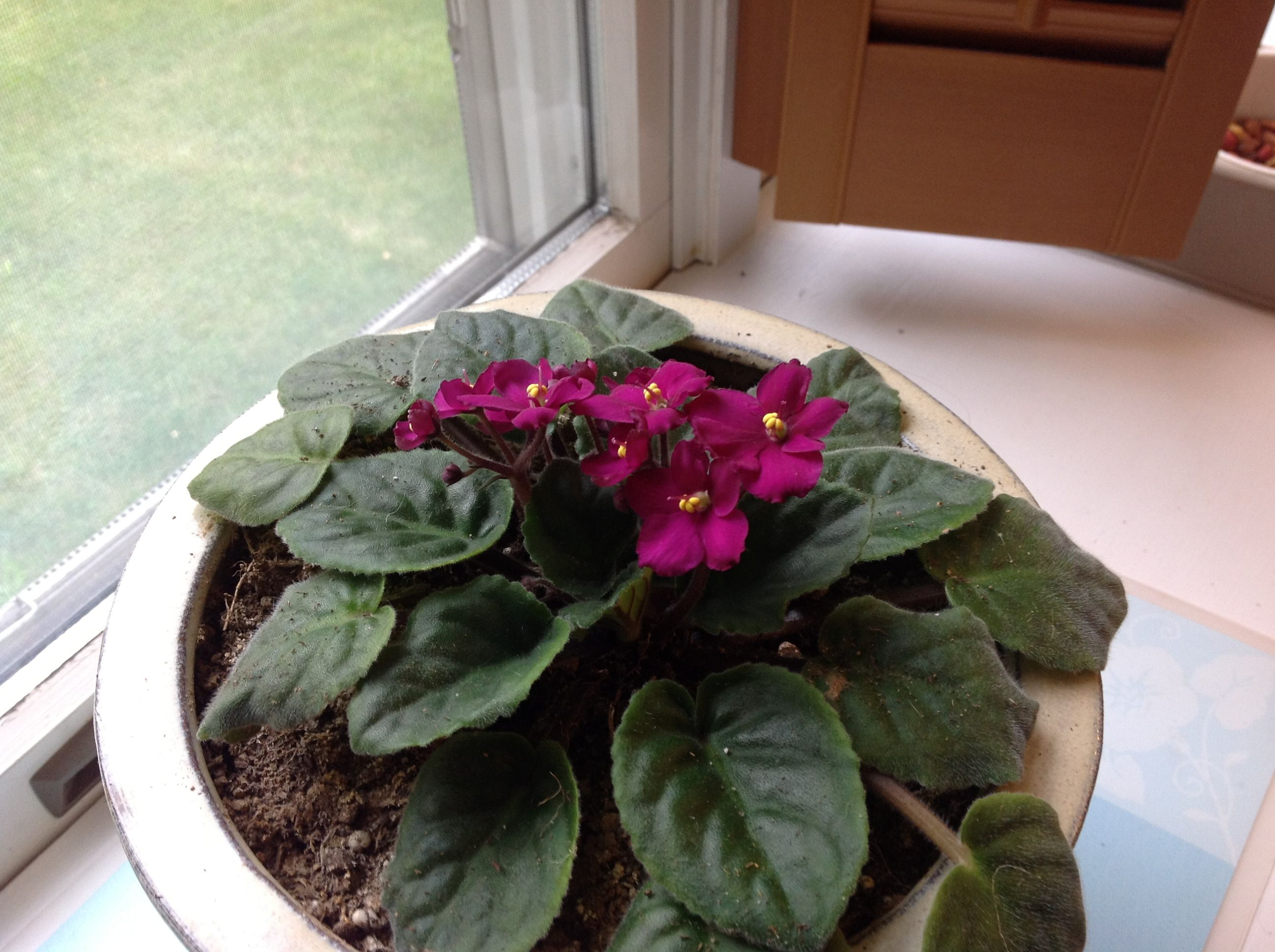 African violet on our kitchen window sill my flowers pinterest
