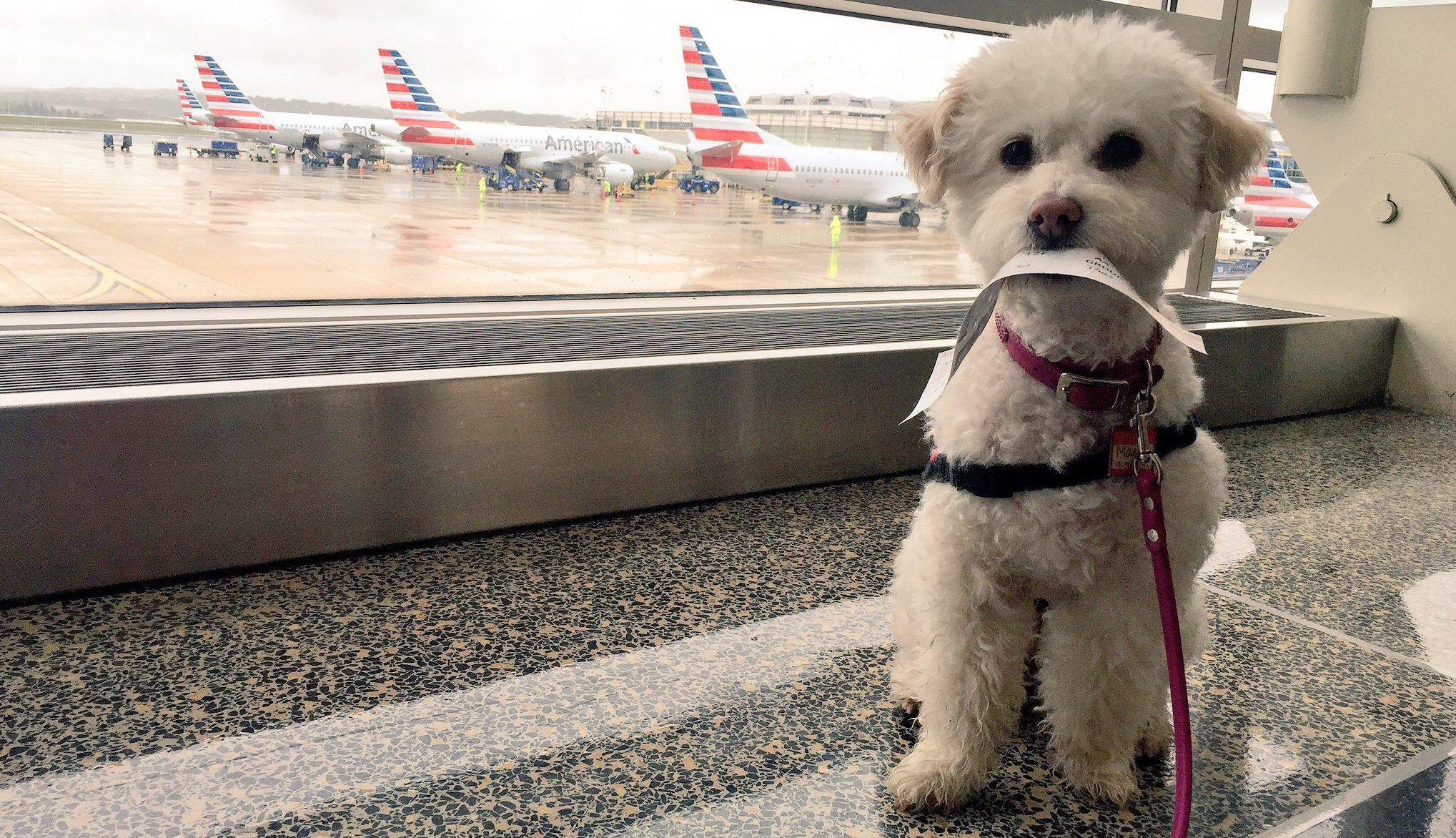 Flying With A Dog Should You Take Your Dog On A Plane Flying