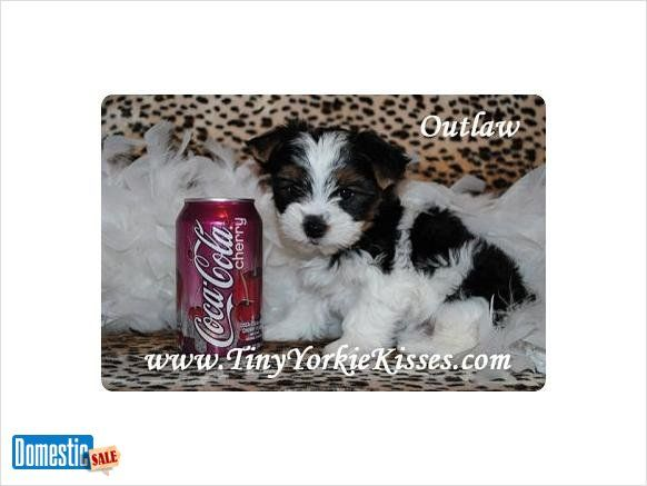 Rare Parti Biewer Yorkshire Terrier Yorkies For Sale In Northern California Www Tinyyorkiekisses Com Kari 70 Yorkshire Terrier Yorkshire Terrier Puppies Yorkie