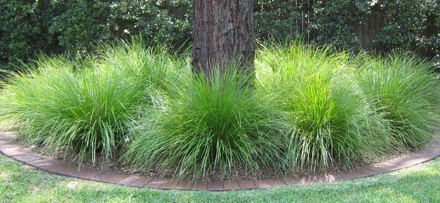 lomandra lime tuff for sale