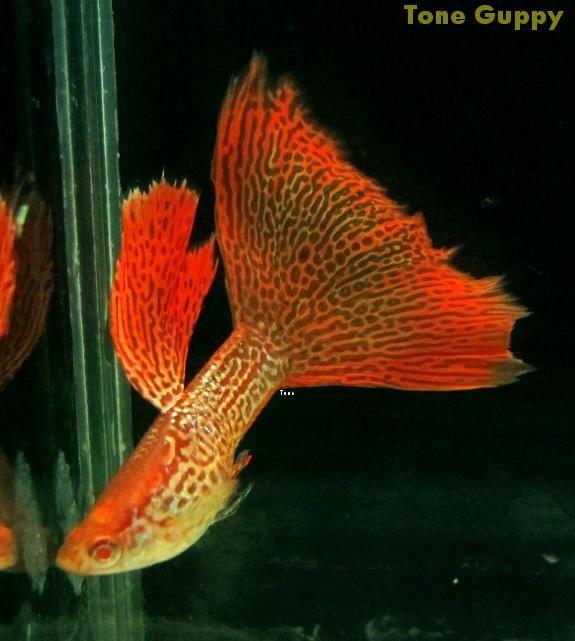 Orange Lace From Tone Guppy Farm Guppy Fish Guppy Tropical Freshwater Fish