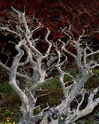 Dead Cypress & Trentepholia Algae Point Lobos State Reserve, California