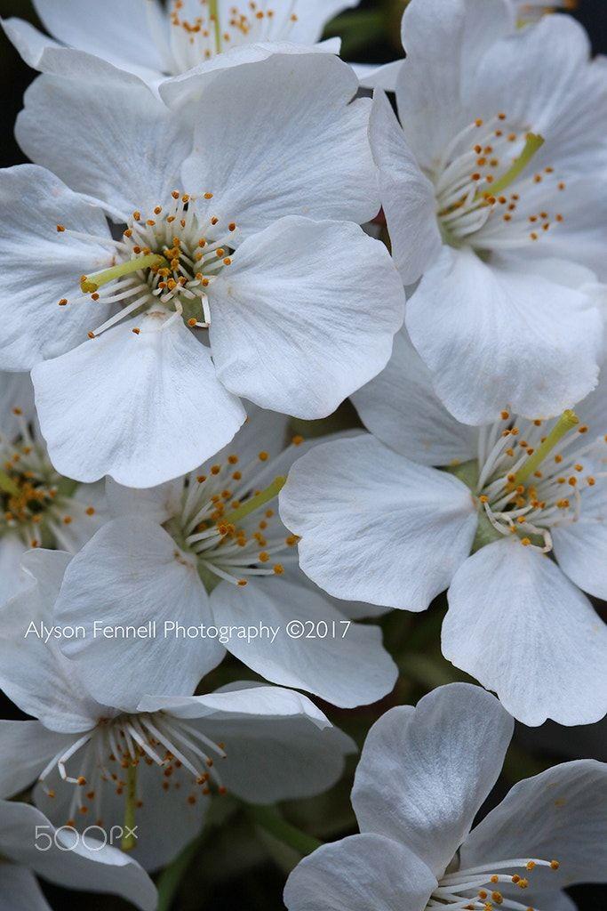 White Cherry Blossom Closeup White Blossom Closeup White Cherry Blossom Cherry Flower Blossom
