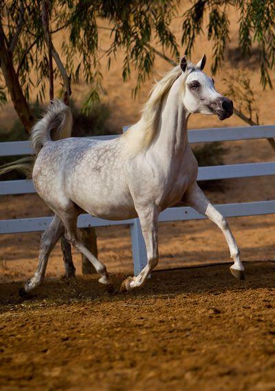 Zeinat Al Zobair (Ansata Shalim x Dalal Al Zobair) 2006 grey SE mare bred by Al Zobair Stud, Morocco