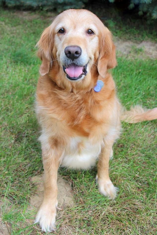 Adopt Cj On Golden Retriever Rescue Dogs Golden Retriever