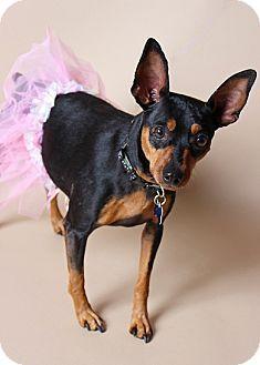 Gilbert Az Manchester Terrier Mix Meet Capri A Dog For