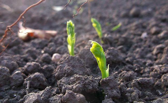 Semer des petits pois : quand et comment faire vos semis de pois ? | Semer petit pois, Planter ...