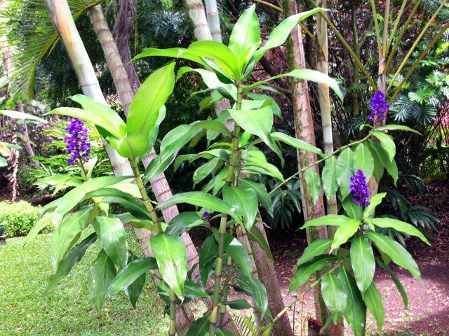 Blue Ginger Plants Haiku Maui Hi Tropical Flowers Maui