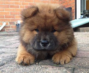 The Gorgeous Bear Chow Chow Dog Advice
