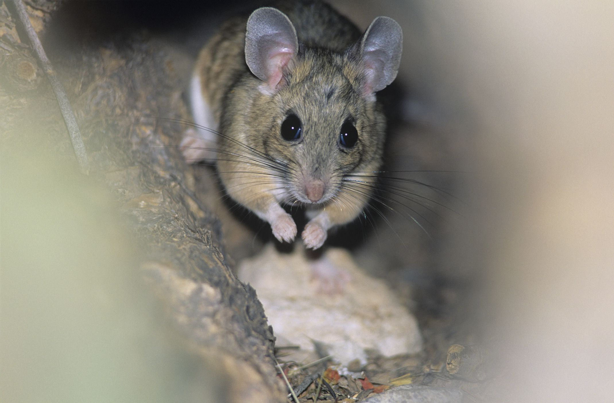 How To Get Rid Of Mice Forever Getting Rid Of Mice Mice Repellent Getting Rid Of Rats