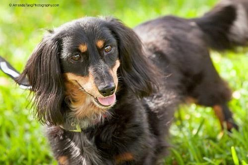 Adopt Duchess On Adoptable Dachshund Dog Dachshund Rescue Dogs