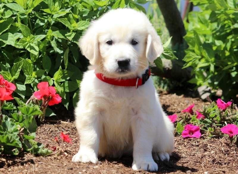 Golden Retrievers Gunther Keystone Puppies Puppies For Sale