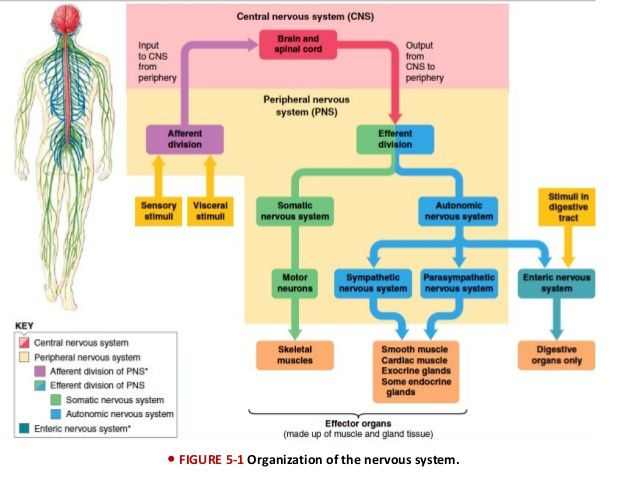 Image result for enteric nervous system divisions yoga anatomy image result for enteric nervous system divisions yoga anatomy lauragyoga pinterest enteric nervous system nervous system and yoga anatomy ccuart Image collections