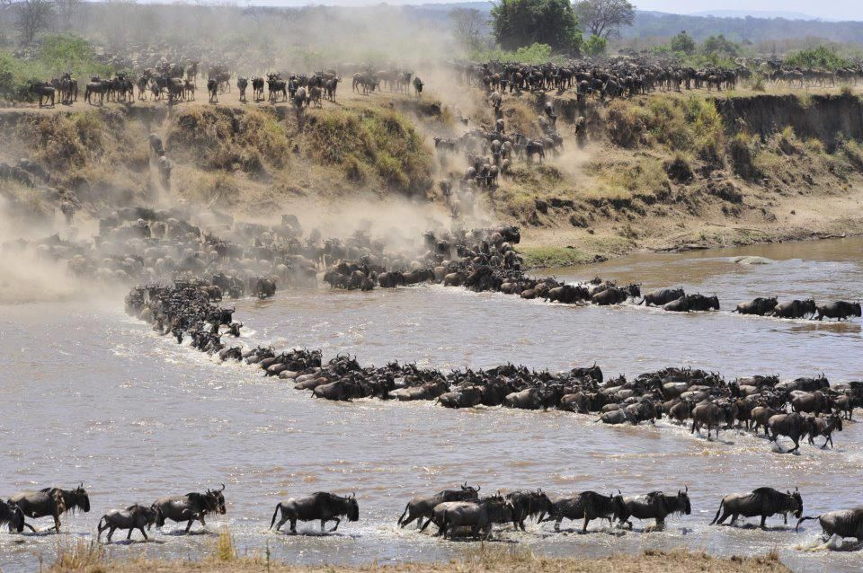 the Serengeti Wildbest migration