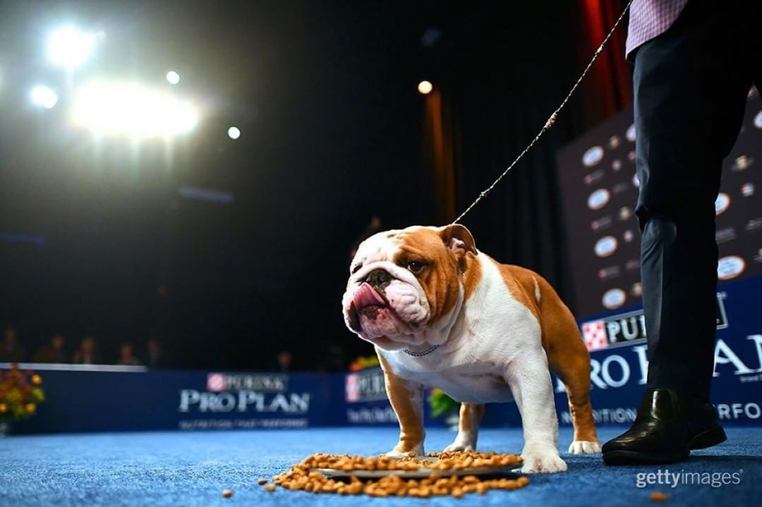 Cletus Johnson Jr Iv On Instagram Thor The Bulldog Wins Best In