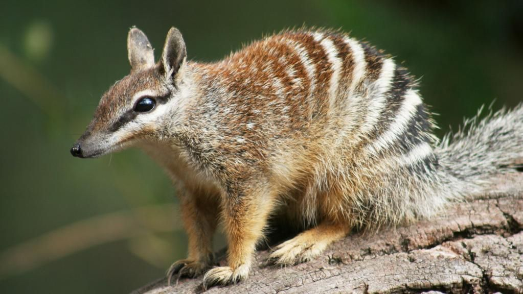 Australia to launch new strategy to save endangered native ...