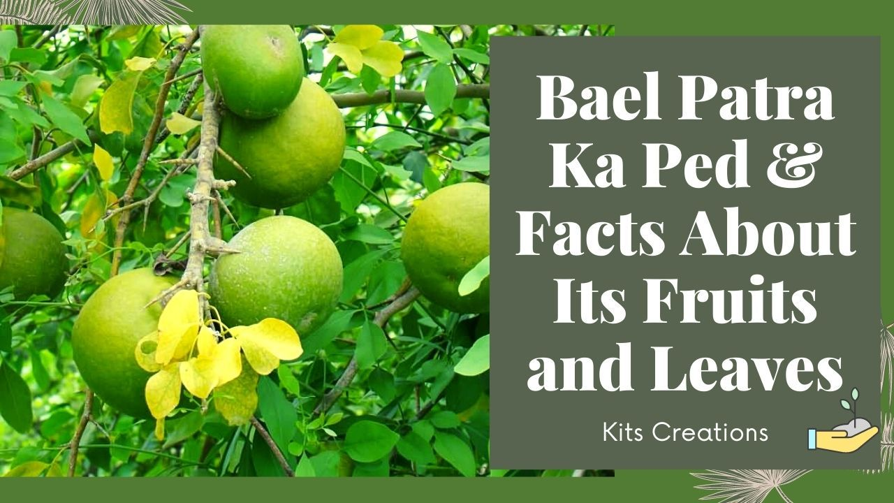 Bael Patra Ka Ped Facts About Bael Fruits And Leaves In 2020 Fruit Patra Facts