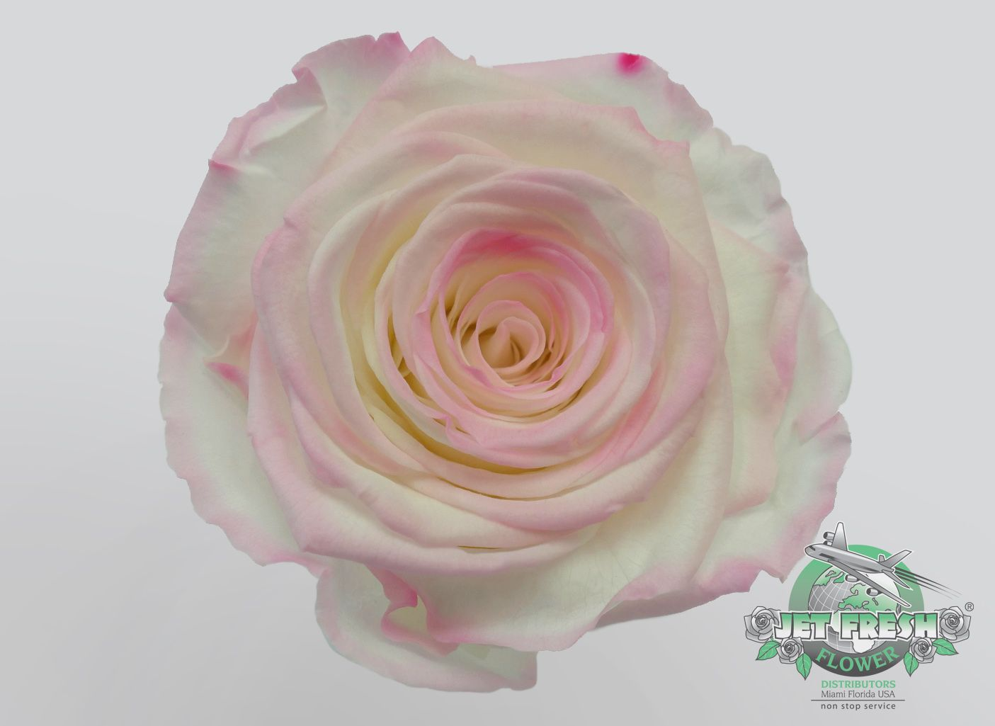 White And Pink Bi Colored Preserved Roses Are Absolutely Beautiful Order These Favors For
