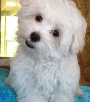 Cute Maltese Dogs Maltese Puppy House Training Puppies Maltese