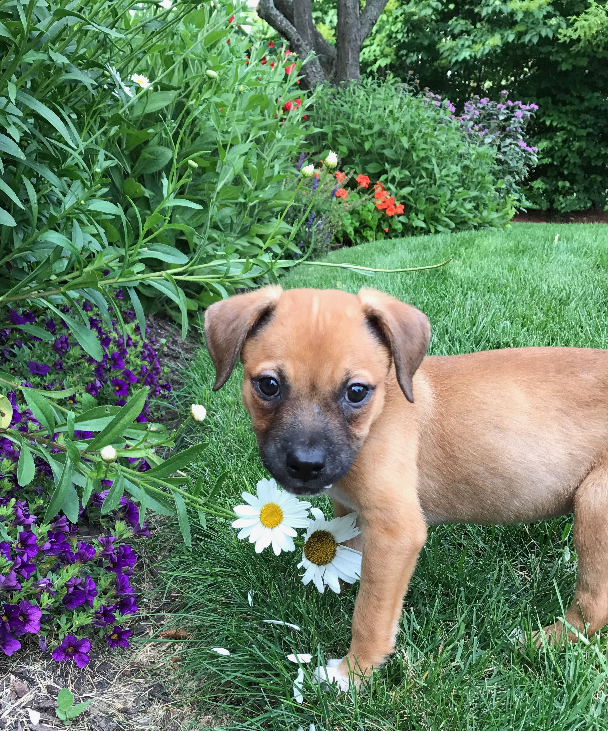 Boxer Dogs For Sale In California References
