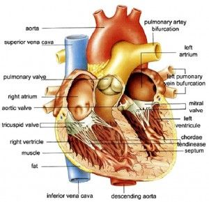 human body heart information