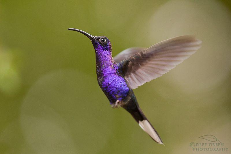 Hummingbird, loveliness