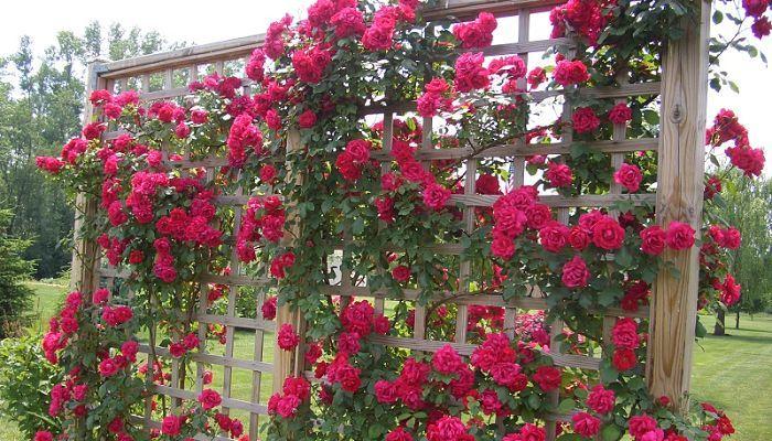 Plantas de rosales jardineria pinterest rosal for Jardineria rosales