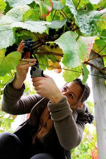 Ryedale Vineyards (Yorkshire) have some enthusiastic volunteers who visit, either on a regular basis or who come occasionally to enjoy the experience of working in the vineyard. We have also had groups of gardeners who have come to get experience in pruning vines. Harvest would not be the same without the volunteer pickers who really enjoy their day in the vineyards … and the lunch in the farmhouse kitchen!