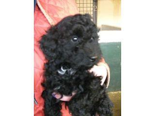 Black Toy Poodle Puppies Norwich Picture 1 Pets Toy Poodle Puppies Poodle Puppy