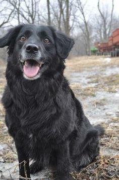 Long Haired Black Labrador Retriever Black Labrador Retriever Labrador Retriever Black Labs Dogs