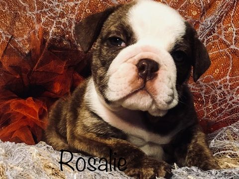 Litter Of 4 Bulldog Puppies For Sale In Fort Worth Tx Adn 48166