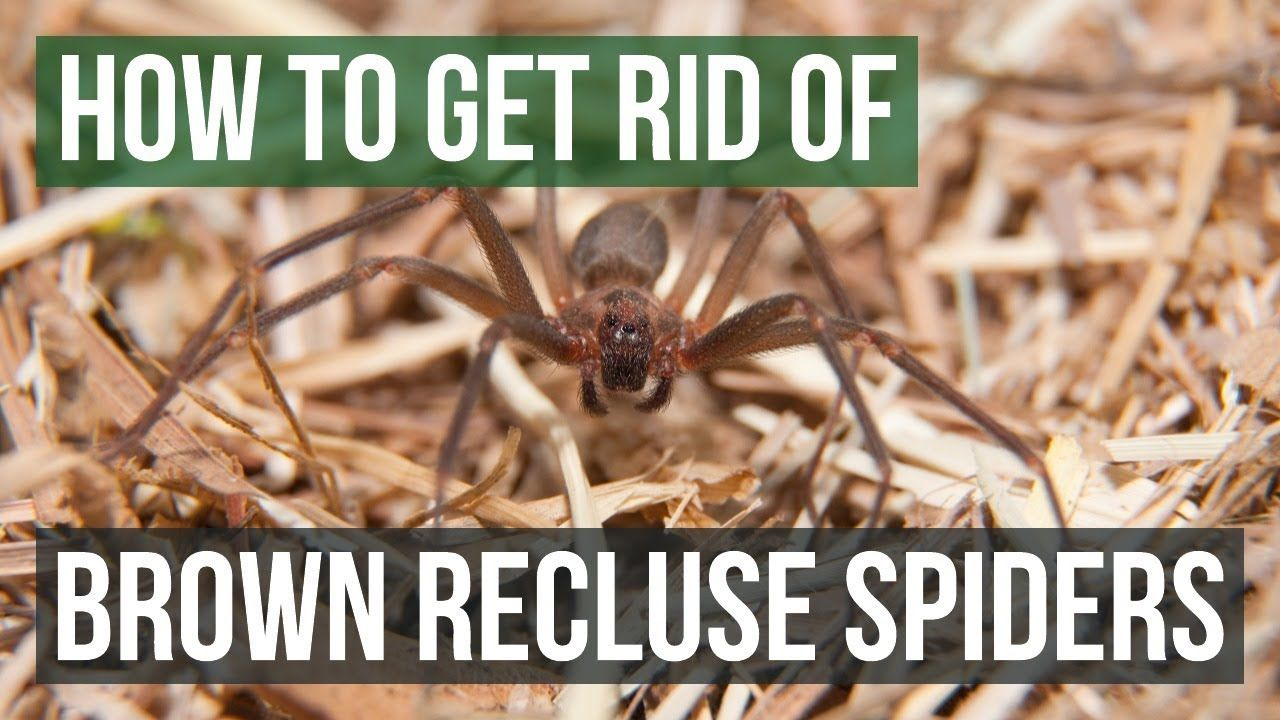 How to Get Rid of Brown Recluse Spiders Things people