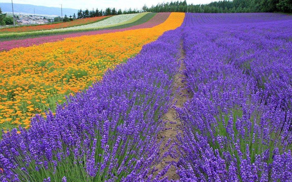 lavender plantation -