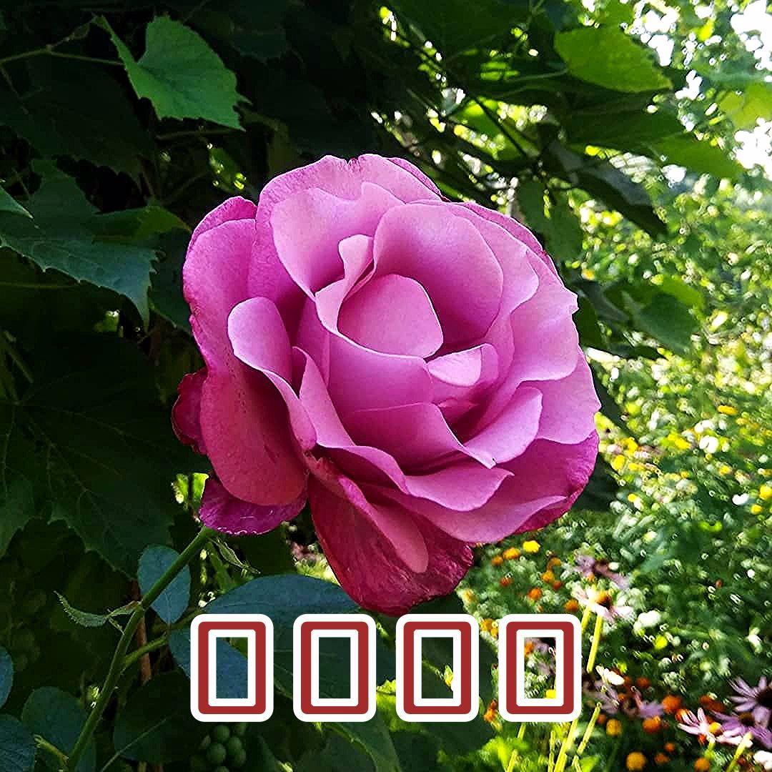 🌹🏡🌞#роза#розы#цветок#цветы#ружа#ружы#rose#roses#flower#flowers#fleur#fleurs#kwiaty#кветка#кветкi#summer#лето#дача#été#flowerstagram#flowerslovers#mygarden#садо%D