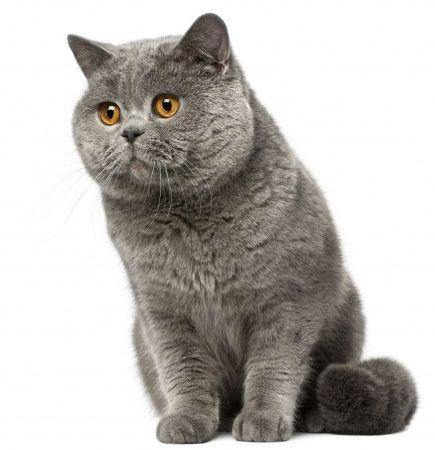 Gato Britânico De Pelo Curto I Love Cats Oriental Shorthair Cats